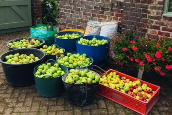 Our apple harvest